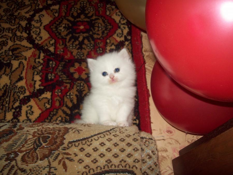 фото ангорских кошек и котят