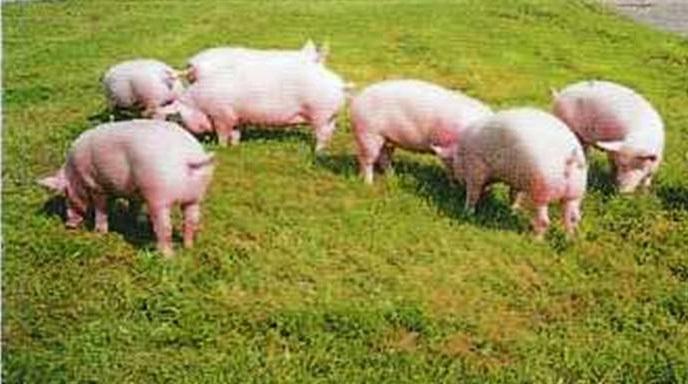 внимание, что украинская степная белая порода свиней услуга лицензированию декларированию